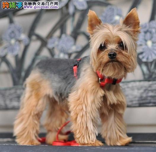 约克夏犬的特性及饲养前的注意事项