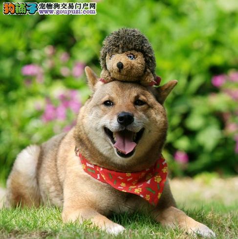 柴犬幼犬的简易挑选方法