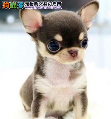 身材娇小、大将风范的吉娃娃犬