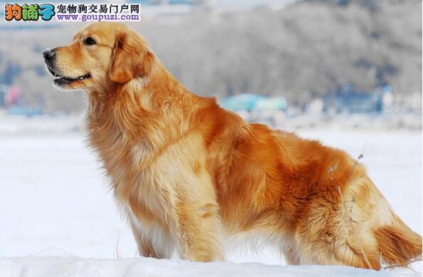 评测金毛犬优劣体重标准是重要因素