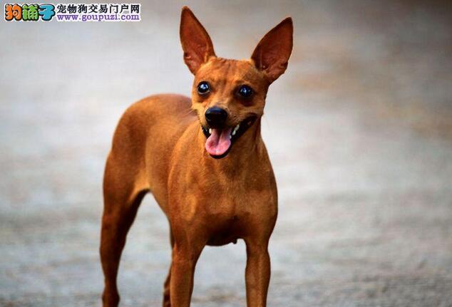 小鹿犬牙齿生长过程及换牙注意事项