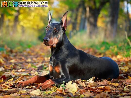 杜宾犬爱吃便便的三大主要原因(下)