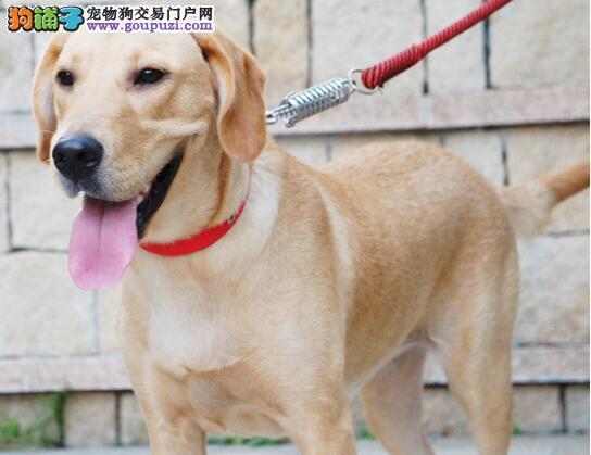 主人要注意拉布拉多犬的12种问题行为(上)