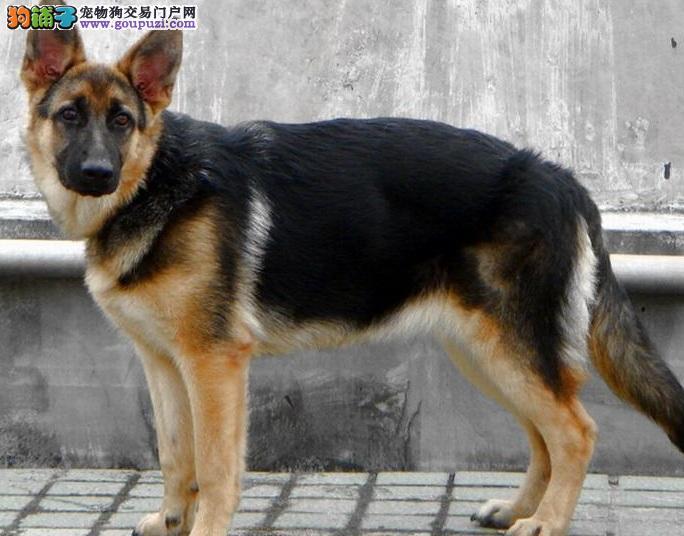 给德国牧羊犬制作有营养的犬粮