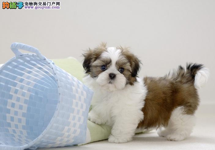 西施犬患前列腺炎引起的症状