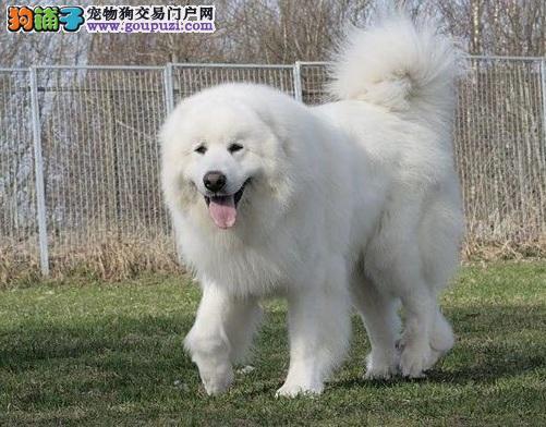 精心打造大白熊犬专用急救箱