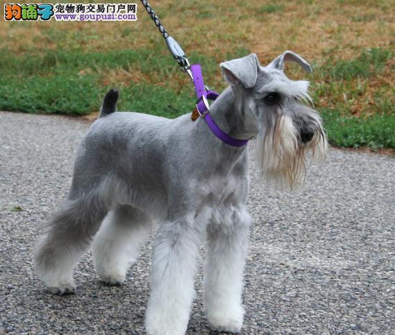 谨防人犬共犯病,秋季正确养护雪纳瑞犬