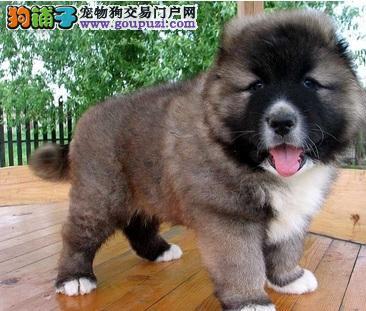 高加索犬如何做美容护理