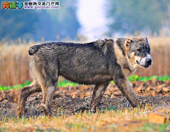 中亚牧羊犬便便后刻意掩盖的原因