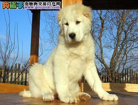 给中亚牧羊犬准备急救箱要包含9种物品