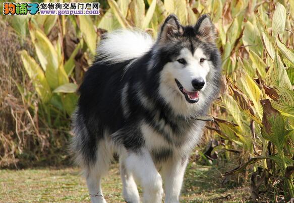 读懂阿拉斯加犬的眼神,让他成为你最好的伙伴