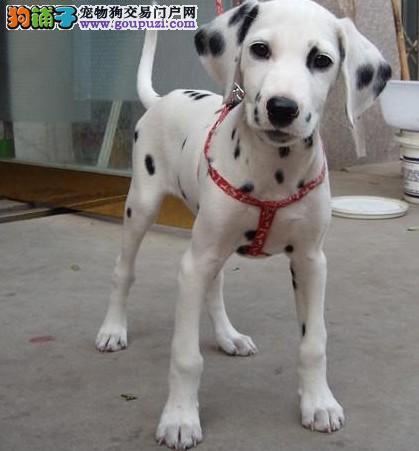 纯种斑点狗出售健康担保,签署协议,2