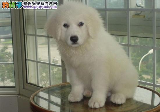 南京售家养熊版大白熊纯种健康比利牛斯山犬公母都有