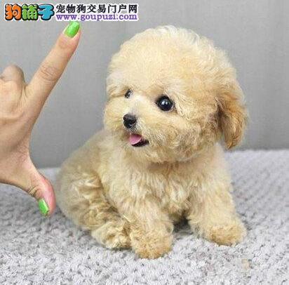 广州泰迪熊广州哪里有卖茶杯泰迪熊什么地方有卖泰迪熊