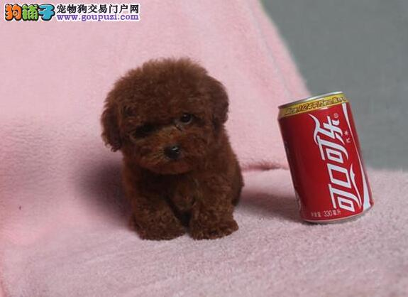信阳市出售茶杯犬幼犬 公母都有 可视频看狗 售后保障