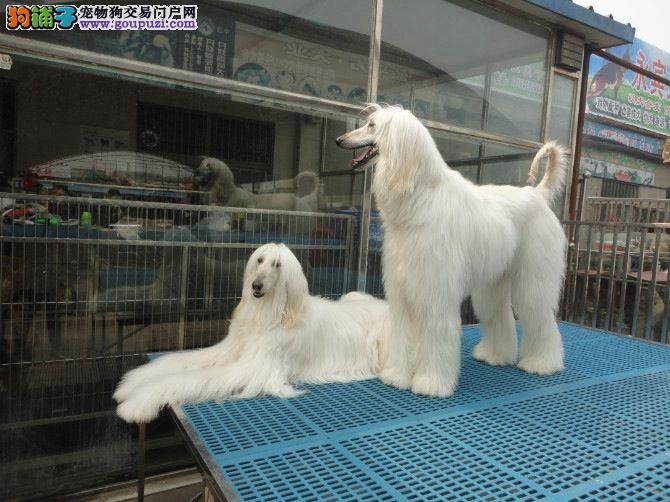 繁殖基地出售多种颜色的阿富汗猎犬喜欢的别错过2