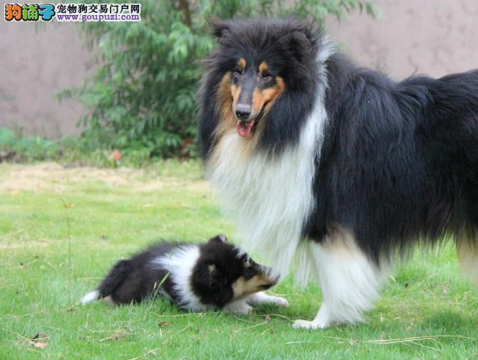 重庆有售苏格兰牧羊犬幼犬毛色靓体型佳两色三色可选
