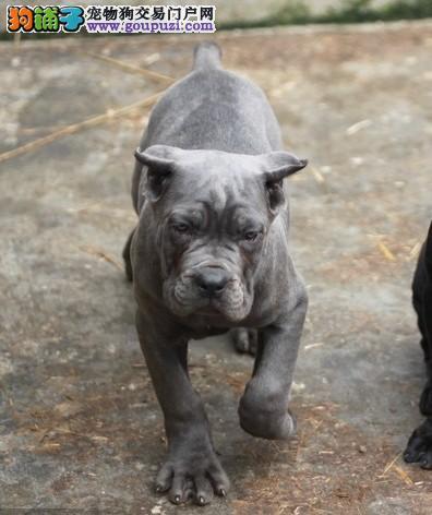 家养多只廊坊卡斯罗犬宝宝出售中赛级品质血统保障