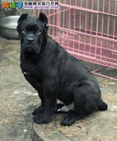 正规犬舍出售纯种卡斯罗幼犬 CKU血统认证 保健康