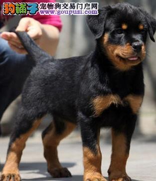 国际注册犬舍 出售极品赛级罗威纳幼犬品质一流三包终身协议