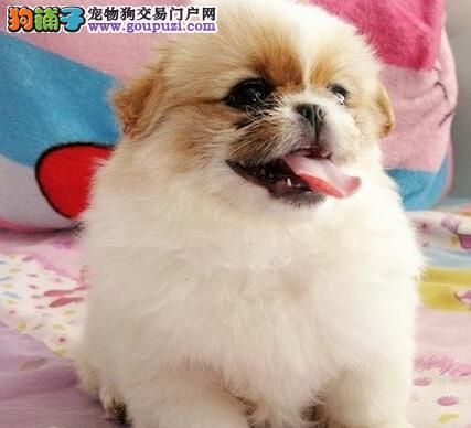 极品京巴幼犬、专业繁殖包质量、讲诚信信誉好