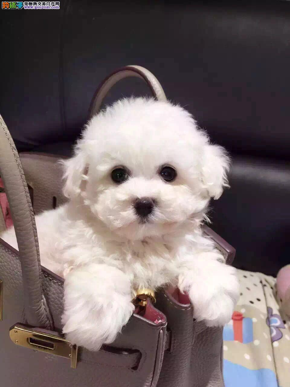 纯种茶杯玩具泰迪犬出售品相好颜色齐签售后包健康