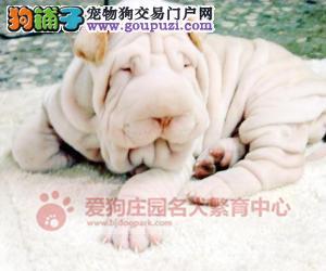 精品沙皮幼犬出售中,保证健康纯种3