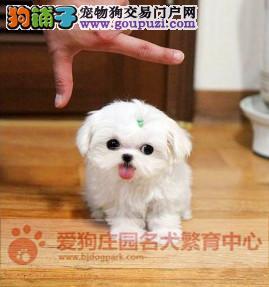 精品马尔济斯幼犬出售,保证健康纯种