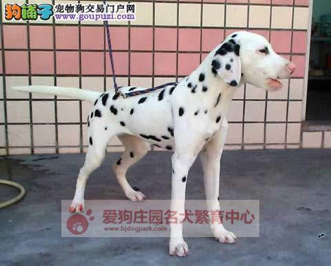 精品健康纯种斑点幼犬出售,欢迎前来选购2