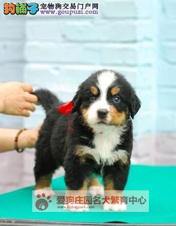 精品健康纯种伯恩山幼犬出售,欢迎前来选购1