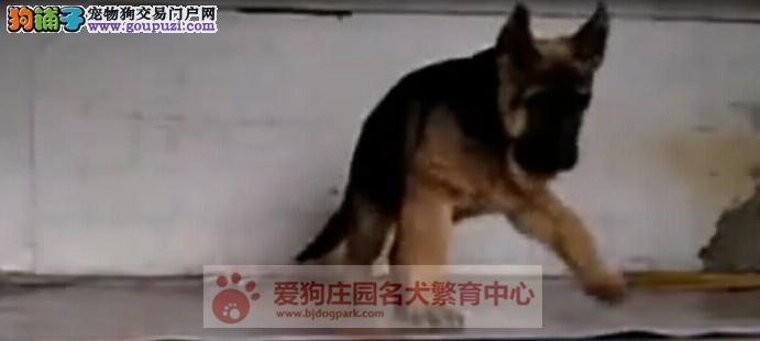 精品狼狗幼犬出售,保证健康纯种2