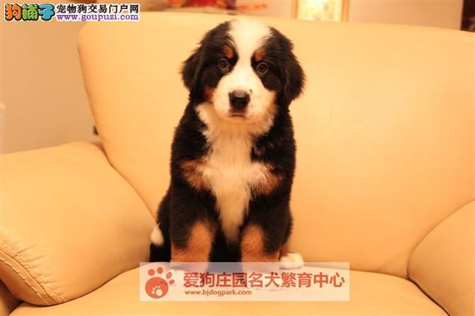 精品健康纯种伯恩山幼犬出售,欢迎前来选购3