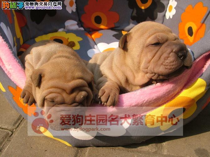精品沙皮幼犬出售中,保证健康纯种1