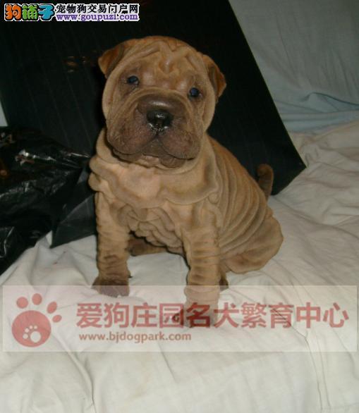 精品沙皮幼犬出售中,保证健康纯种2