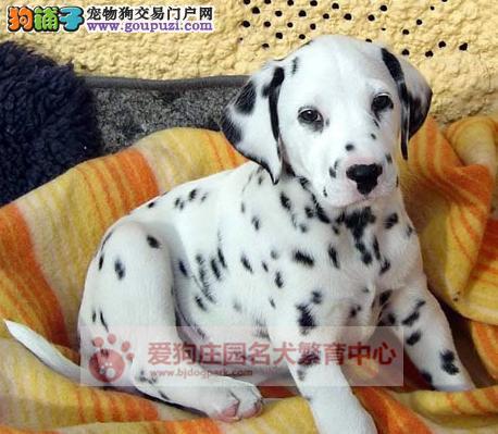 精品健康纯种斑点幼犬出售,欢迎前来选购3