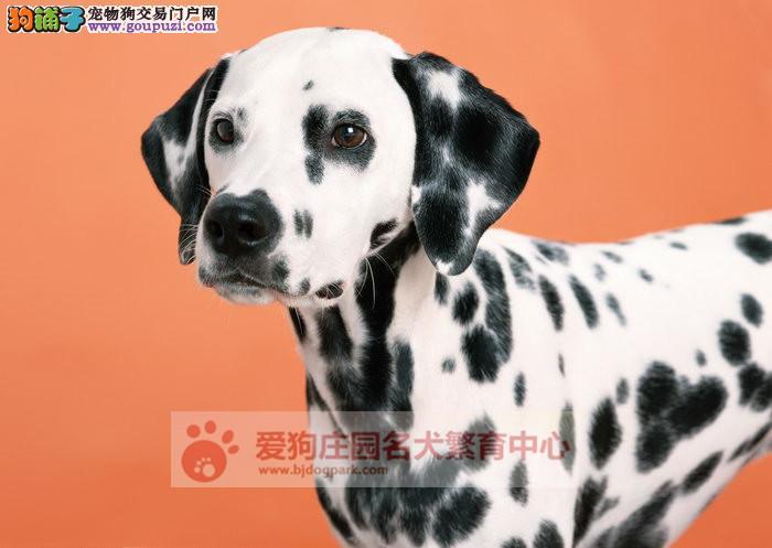 精品健康纯种斑点幼犬出售,欢迎前来选购1