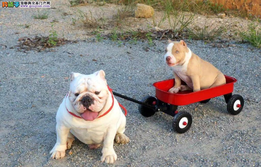 CKU犬舍认证出售高品质美国恶霸犬微信咨询看狗狗照片2