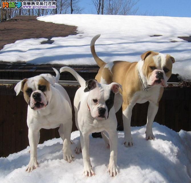 完美品相血统纯正拉萨美国斗牛犬出售送用品送狗粮