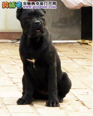 自家狗场繁殖卡斯罗幼犬出售 空运2