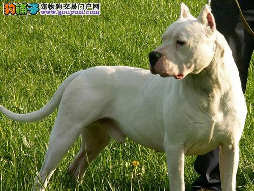 高品系狩猎专用犬种杜高幼犬 专业养殖诚信出售