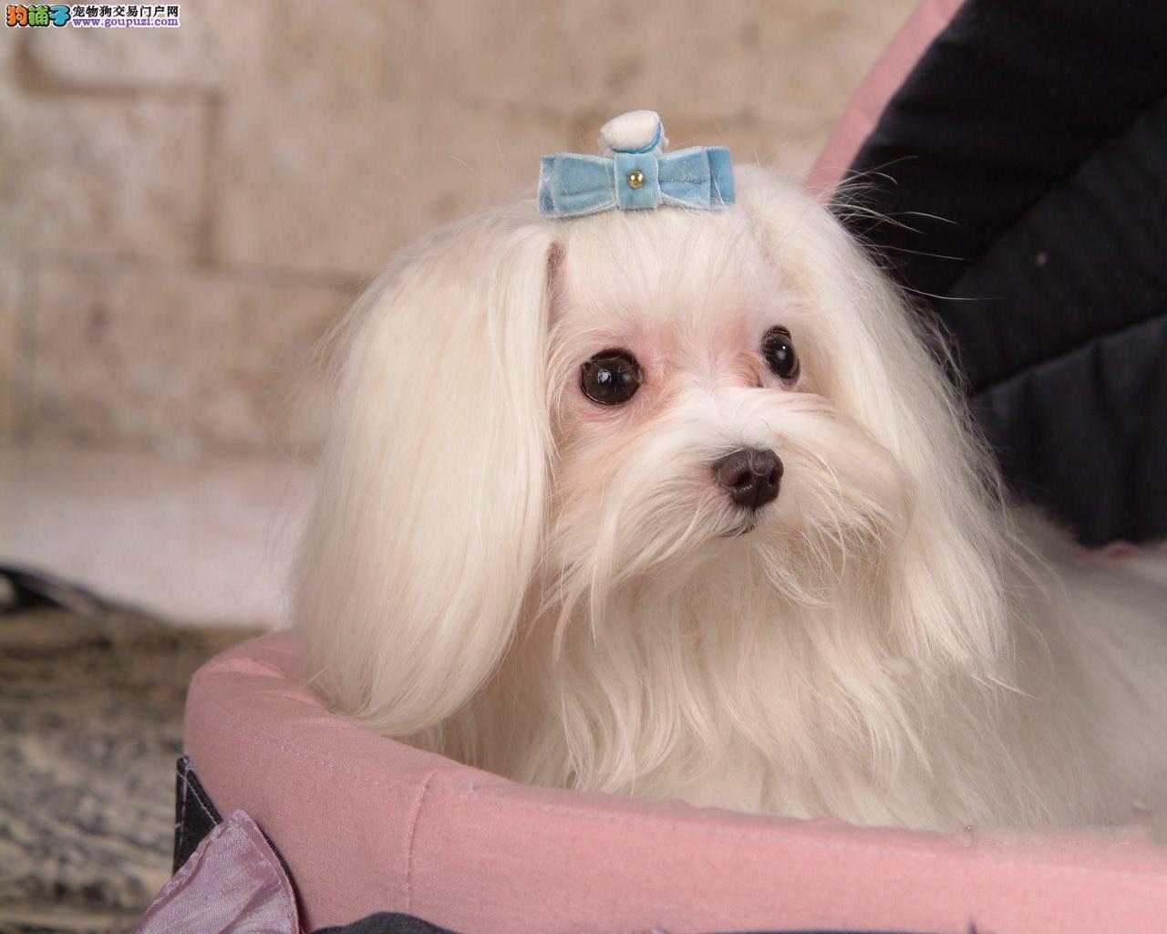 犬舍专业繁殖高品质马尔济斯犬你的不二选择