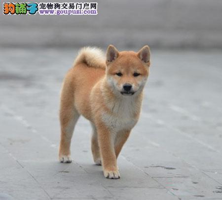 赛级日本柴犬 冠军级后代三个月幼犬低价格出售中