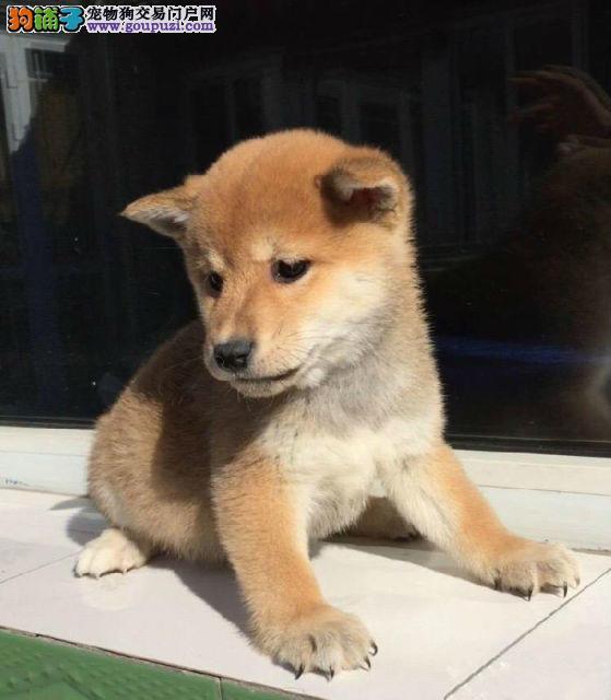 吐鲁番市售纯种日本柴犬疫苗做齐免费送货带合同