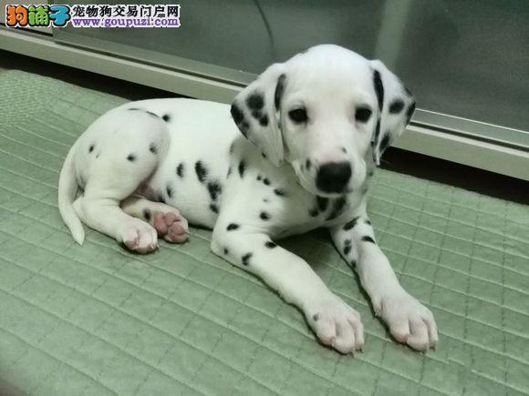 在购买斑点狗时从七点看狗狗的健康