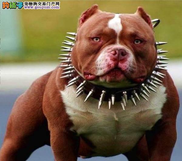 最大的美国恶霸犬基地 完美售后可直接视频挑选