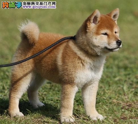 重庆赛级日本柴犬幼犬 品相好 血统纯 看父母 价可面议