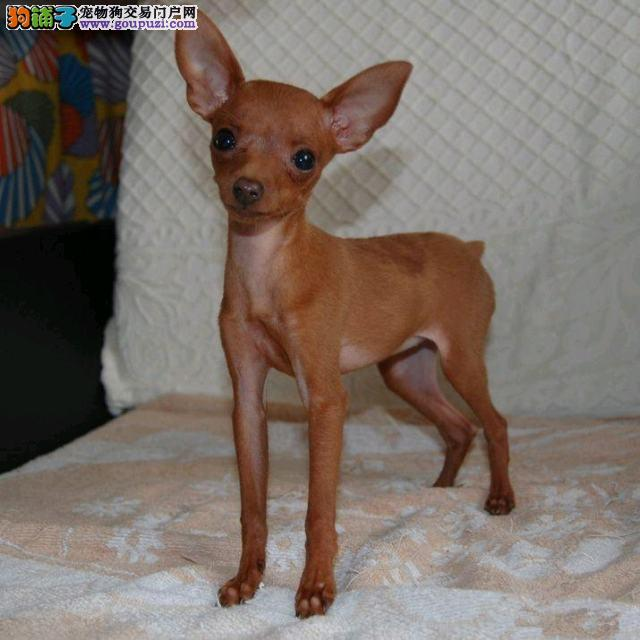 赛级血统小鹿犬 诚信为本良心卖狗 小型铁包金黑色小鹿犬