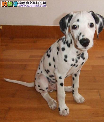 精品斑点狗幼犬一对一视频服务买着放心终身售后协议