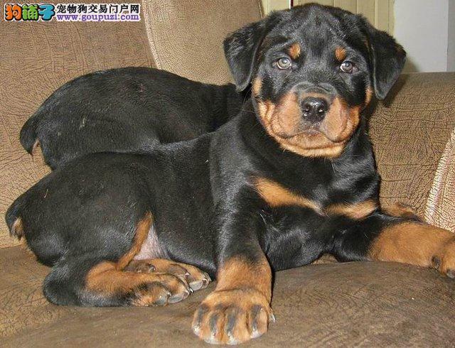 上饶出售霸气外漏缔造凶猛的罗威纳王者风范护卫犬
