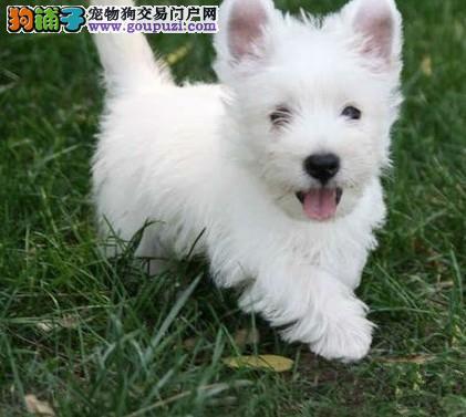 西高地专业养殖基地 CKU认证犬舍高品质赛级幼犬待售